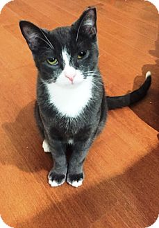 Domestic Shorthair Cat for adoption in Woodside, New York - Boots