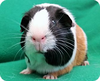 Guinea Pig for adoption in Lewisville, Texas - Pixie