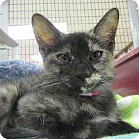 Adopt A Pet :: Black Socks - Medina, OH