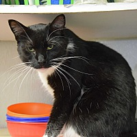 Domestic Shorthair Cat for adoption in Pottsville, Pennsylvania - Moo