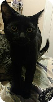 Domestic Mediumhair Cat for adoption in Cedar Rapids, Iowa - Bettina