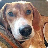 Adopt A Pet :: Eve - Sinking Spring, PA