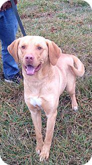 Labrador Retriever/Mastiff Mix Dog for adoption in Sparta, New Jersey - Roman#1 - Adoption Pending