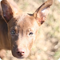 Adopt A Pet :: Remy - knoxville, TN