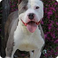 Adopt A Pet :: Prince - Everett, WA