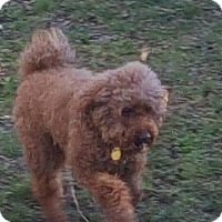 Poodle (Miniature) Mix Dog for adoption in Woodbridge, Virginia - Kobe
