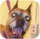 Boxer Dog for adoption in Sunderland, Massachusetts - Rosie