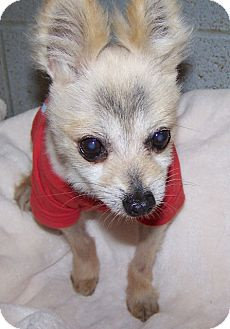 Pomeranian Mix Dog for adoption in Grants Pass, Oregon - Wylie