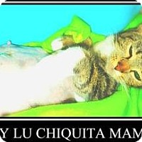 Domestic Shorthair Cat for adoption in Miami, Florida - Lucy Lu