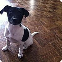 Adopt A Pet :: Foxy - Hancock, MI