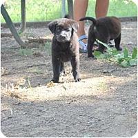 Adopt A Pet :: OH YA - New Boston, NH