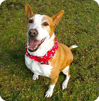 Cattle Dog/Border Collie Mix Dog for adoption in El Cajon, California - Egypt