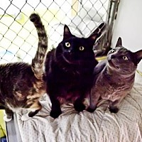 Domestic Mediumhair Cat for adoption in Midway City, California - Glory, Smokey and Sunny