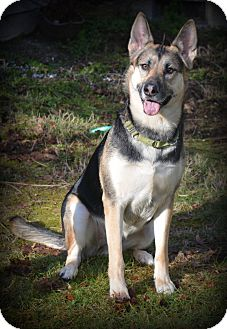 German Shepherd Dog/Husky Mix Dog for adoption in Gig Harbor, Washington - Kaiya