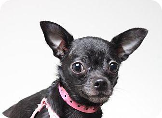 Chihuahua Dog for adoption in Eden Prairie, Minnesota - Posh  D160980