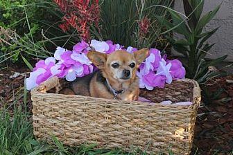 Chihuahua Dog for adoption in Imperial Beach, California - Bella