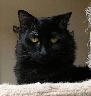 Ragdoll Cat for adoption in San Diego, California - Lotta Neumann
