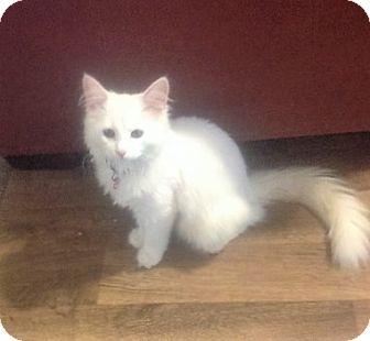 Domestic Mediumhair Cat for adoption in Columbia, South Carolina - Marshmellow