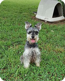 Schnauzer (Miniature) Dog for adoption in Harrisonburg, Virginia - Jager