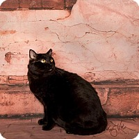 Bombay Cat for adoption in Corona, California - PEPPER