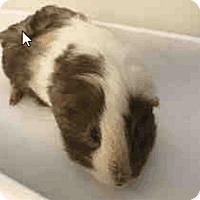 Adopt A Pet :: *Urgent* Chelsea - Fullerton, CA