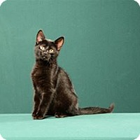 Adopt A Pet :: Lou (Kitten) - Cary, NC