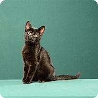 Adopt A Pet :: Lou (Kitten) - Cary, NC