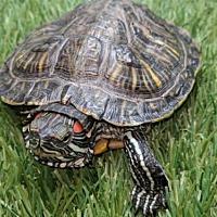 Adopt A Pet :: Hugo - Pefferlaw, ON