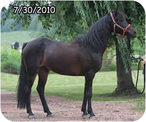 Friesian/Morgan Mix for adoption in Pittsville, Wisconsin - Cooper