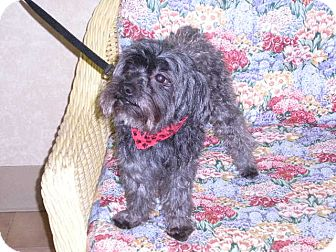 """Poodle (Miniature) Mix Dog for adoption in New Castle, Pennsylvania - """" Pierre """""""
