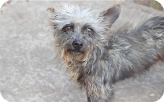 Cairn Terrier Mix Dog for adoption in Norwalk, Connecticut - Colin - adoption pending