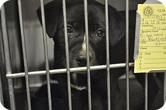 Labrador Retriever Mix Puppy for adoption in North Brunswick, New Jersey - Angelpup