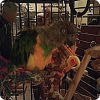Adopt A Pet :: Louie - Redlands, CA