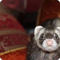 Adopt A Pet :: Jade - Chantilly, VA