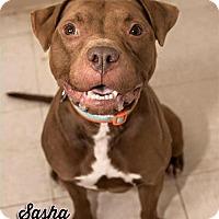 Adopt A Pet :: Sasha - Cary, IL