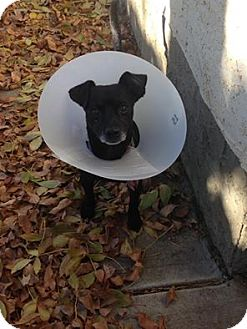 Chihuahua Mix Dog for adoption in Duchess, Alberta - Frijol