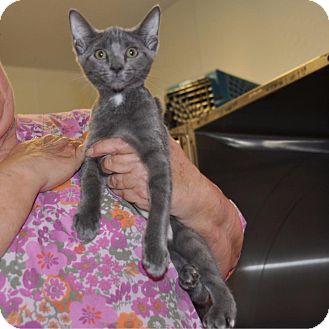 Domestic Shorthair Kitten for adoption in Sunrise Beach, Missouri - Charli Rich