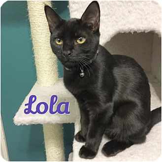 Domestic Shorthair Cat for adoption in Arlington/Ft Worth, Texas - Lola
