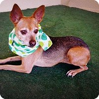 Chihuahua/Terrier (Unknown Type, Small) Mix Dog for adoption in Casa Grande, Arizona - Zoe