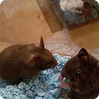 Hamster for adoption in Aurora, Illinois - Blake