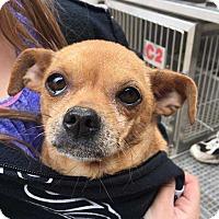 Adopt A Pet :: Confetti - Allen, TX