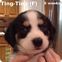 Adopt A Pet :: Mulan's pup Ting-Ting - Tampa, FL