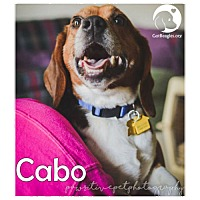 Adopt A Pet :: Cabo - Chicago, IL