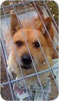 Terrier (Unknown Type, Medium)/Corgi Mix Dog for adoption in Fowler, California - Baxter