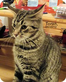 Domestic Shorthair Cat for adoption in Olmsted Falls, Ohio - Toran