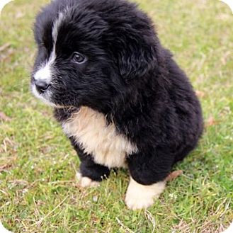 Border Collie/Great Pyrenees Mix Puppy for adoption in Groton, Massachusetts - Panda