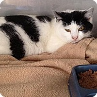 Domestic Shorthair Cat for adoption in Mount Laurel, New Jersey - Remy