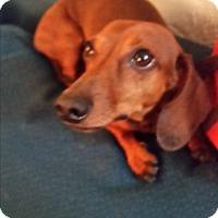 Adopt A Pet :: Branden - Pinellas Park, FL