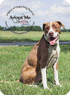 Great Dane/Pit Bull Terrier Mix Dog for adoption in Broken Arrow, Oklahoma - Lex