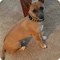 Chihuahua Mix Dog for adoption in San Diego, California - Scooby